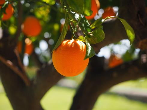 L'arancio è il primo agrume coltivato in Italia, seguonom clementine e limone