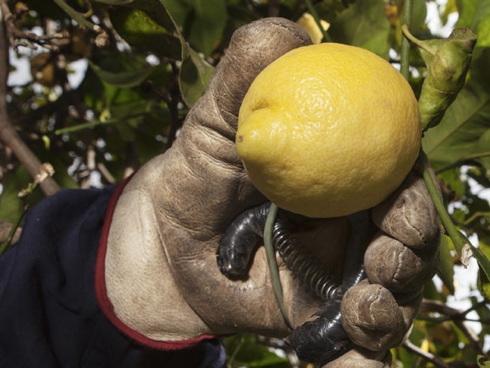 Limone siciliano del Consorzio Igp Siracusa