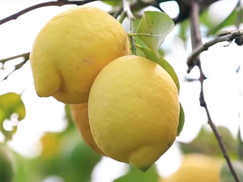Frutti di limone su pianta in agrumento