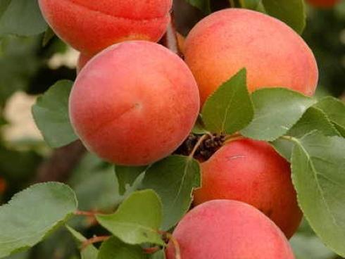 Farlis Carmingo, varietà di albicocco tardiva e bicolore distribuita da Vivai Zanzi