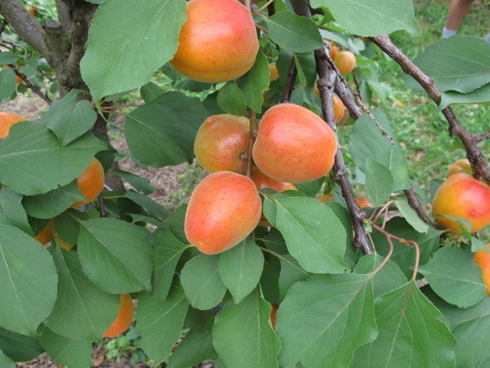 Nirosa 1, nuova albicocca distribuita dai Vivai Geoplant