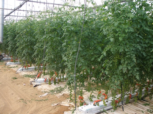 sicilia ortaggi fuori suolo in rapida crescita
