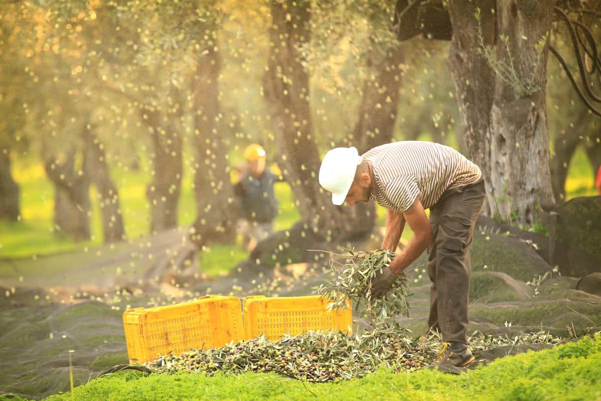 La raccolta delle olive nelle tenute di Accademia Olearia, coltivate con l'aiuto di QdC - Quaderno di Campagna