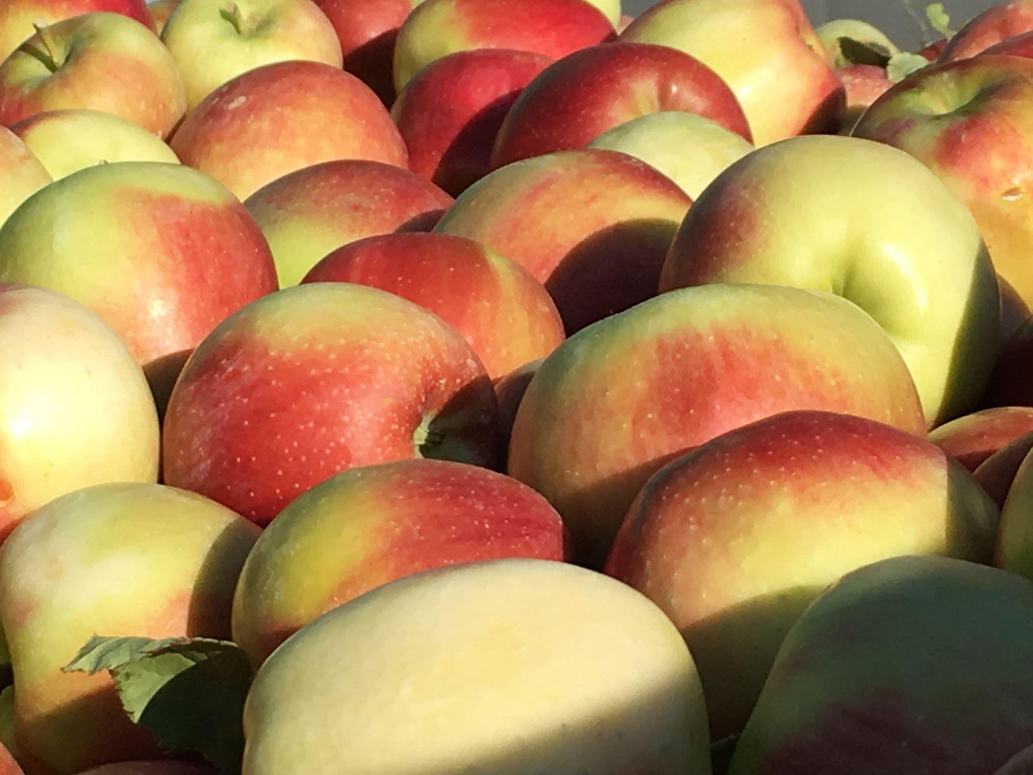 Le mele dell'azienda coltivate con l'aiuto di QdC® nel rispetto del disciplinare