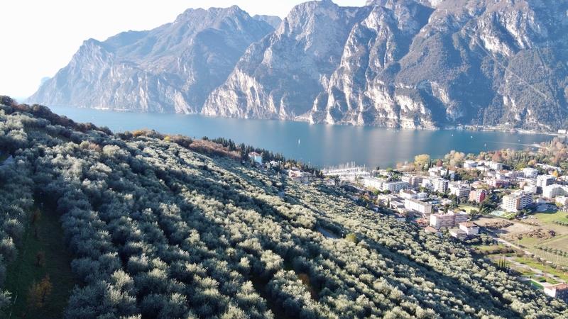 Gli oliveti di Brioleum a Riva del Garda coltivati seguendo i disciplinari regionali anche grazie all'aiuto di QdC - Quaderno di Campagna
