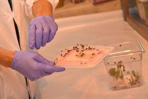 Lotta biologica contro la cimice asiatica