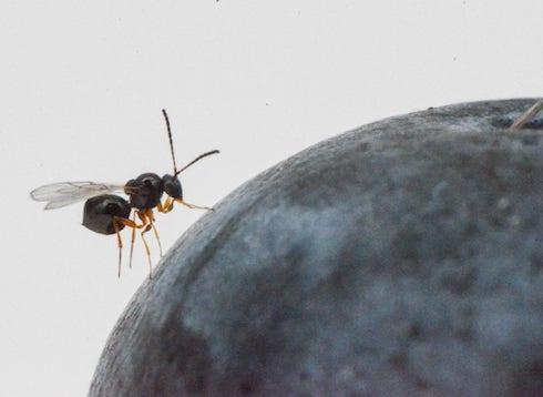 Ganaspis brasiliensis depone il proprio uovo dentro le larve di Drosophila suzukii e lì si sviluppa, uccidendo il suo ospite