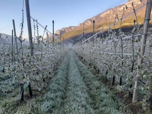 Le gelate in Trentino hanno colpito soprattutto meli e ciliegi