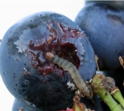 Larva di lobelia botrana su acino