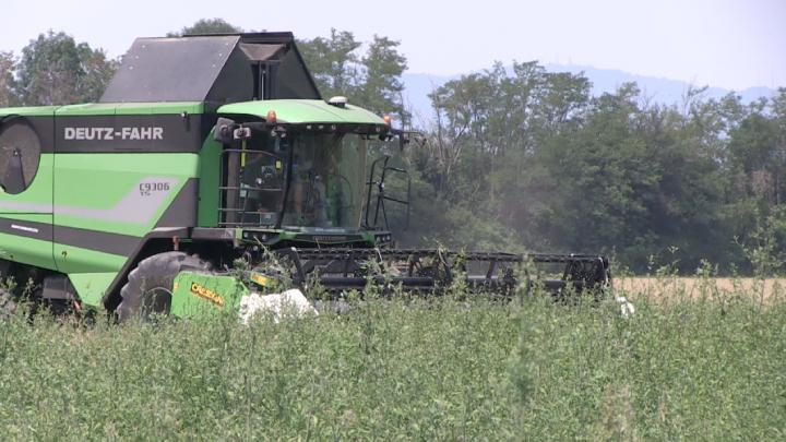 Deutz-Fahr C9306 di Agrilisa alle prese con un campo particolarmente infestato da chenopodio