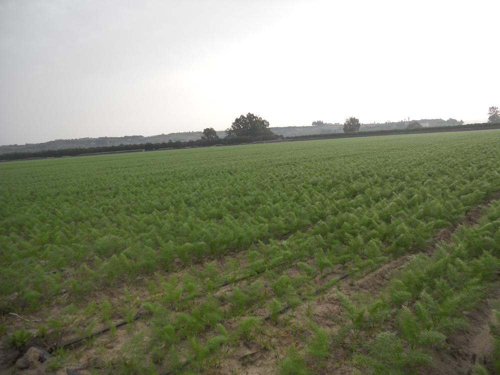 Microirrigazione su finocchio. Campo