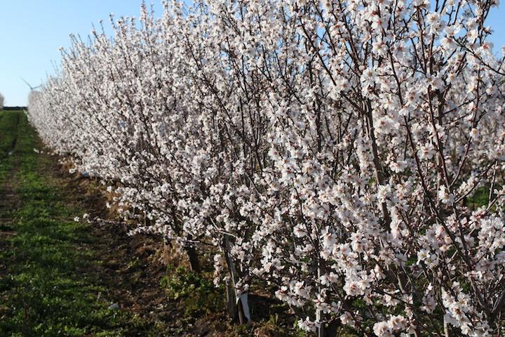 Filare di ciliegio (Prunus avium)