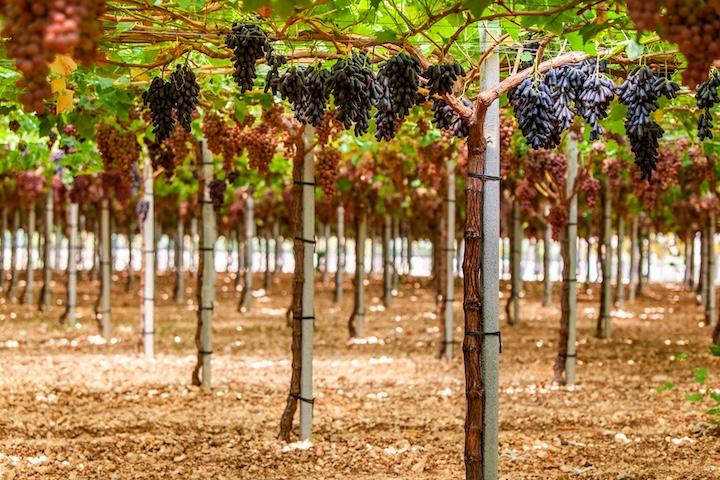 Tante soluzioni Irritec per l'irrigazione di uva da tavola