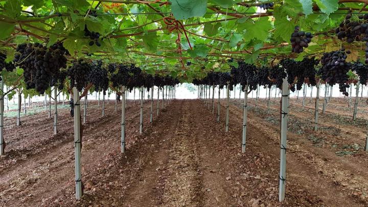 Impianti di uva da tavola in evoluzione in Italia