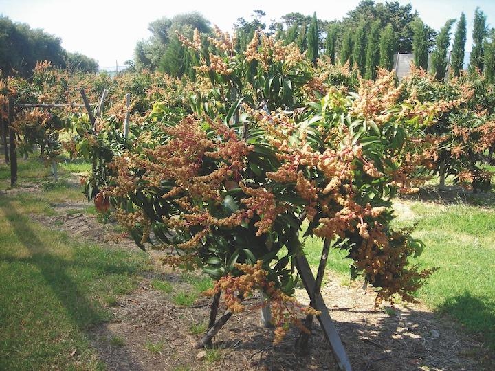 Piantagione di mango in Sicilia