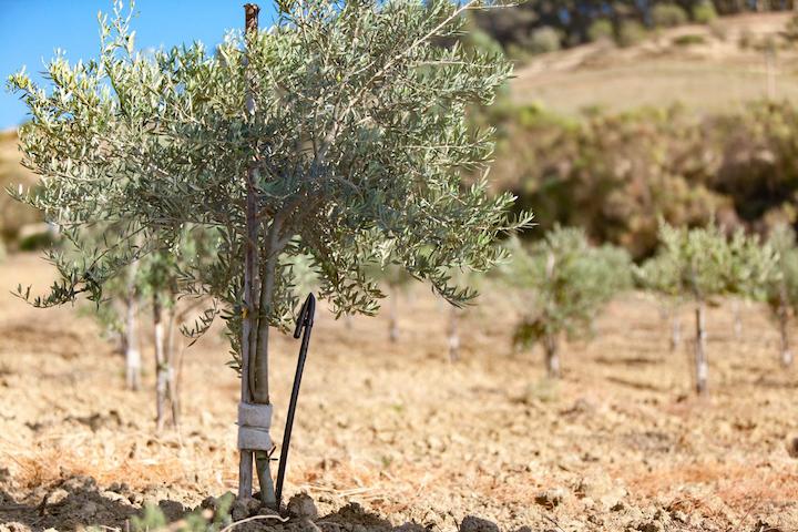 Irrigazione a goccia ideale per apportare acqua agli olivi