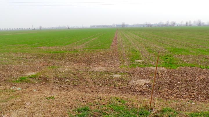 emergenza del frumento: a sx semina diretta su residui colturali e a dx  semina su aratura ed erpicatura