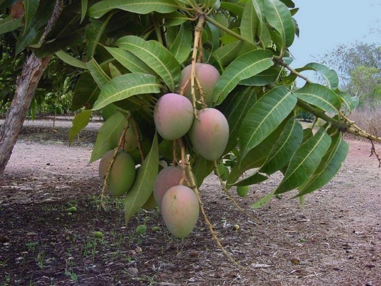 Mango siciliano_Irritec