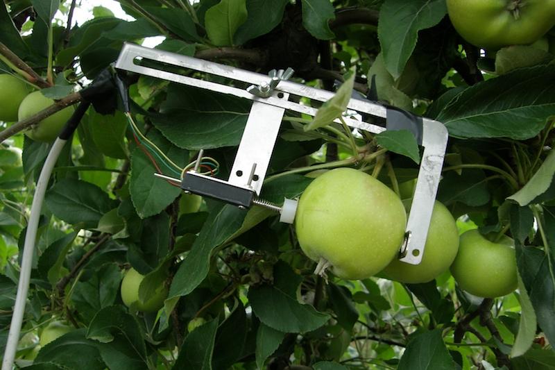 Fruttometro_sensore applicato al frutto (Actinidia) per rilevarne la crescita