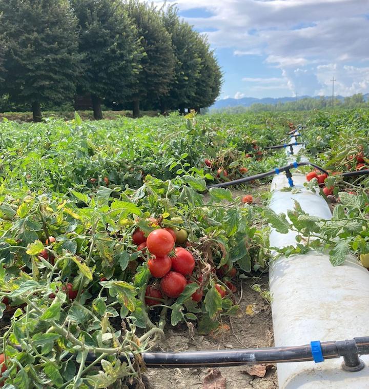 Tubazione FlexNet™ ed ali Streamline™ X di Netafim in un campo di pomodori
