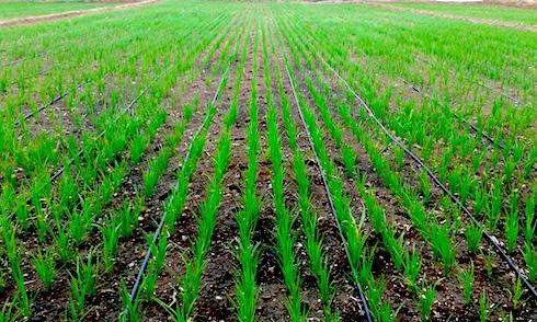 Netafim goccia a goccia il riso ne guadagna agronotizie for Irrigazione per sommersione