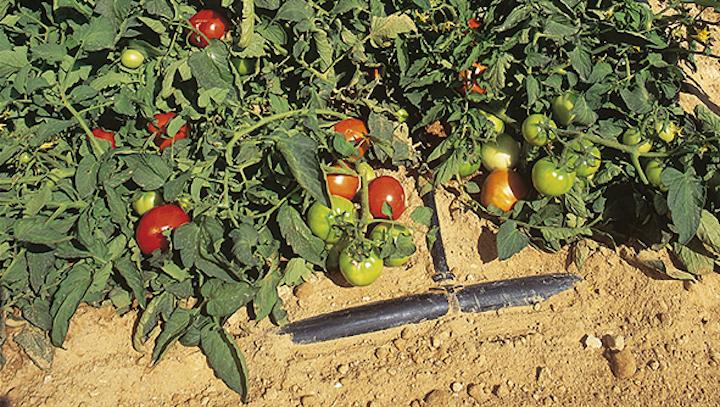 Netafim pi qualit nel pomodoro con l 39 irrigazione a for Netafim irrigazione