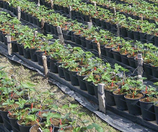 Capillar System per colture in suolo