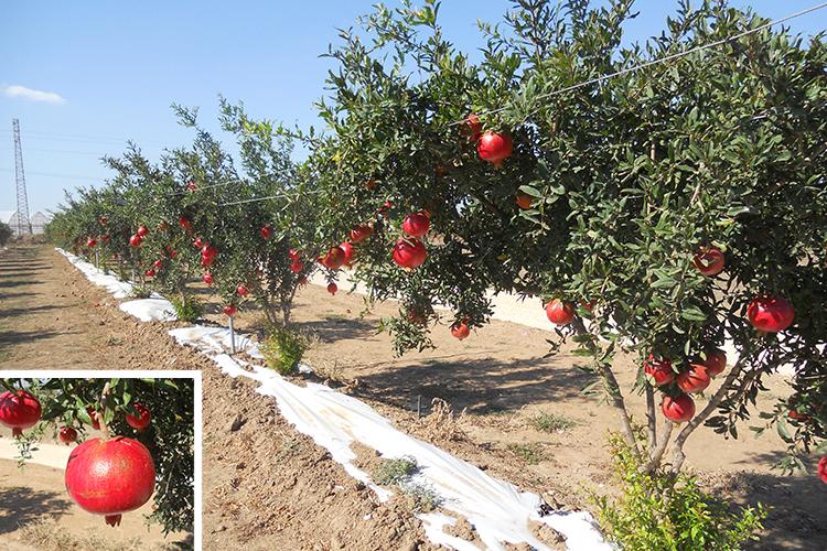 Nei nuovi frutteti si utilizzano diverse strategie colturali innovative, una fra queste è la pacciamatura bianca che migliora la colorazione dei frutti