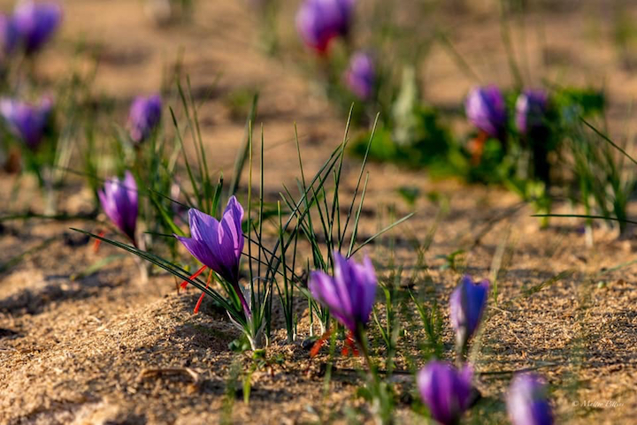 Sono necessari 150-170mila fiori per ottenere un chilo di zafferano