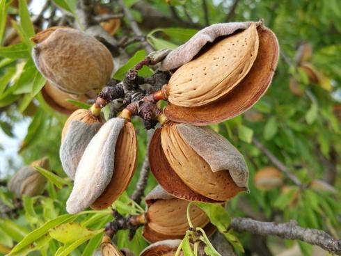 Mandorla di Avola, le cultivar di mandorle più pregiate sui mercati internazionali