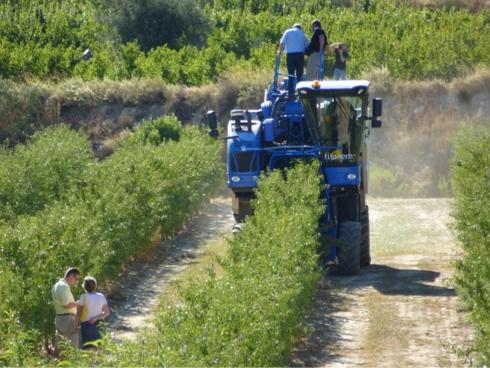 Mandorlo, piante allevate a siepe: impianto superintensivo