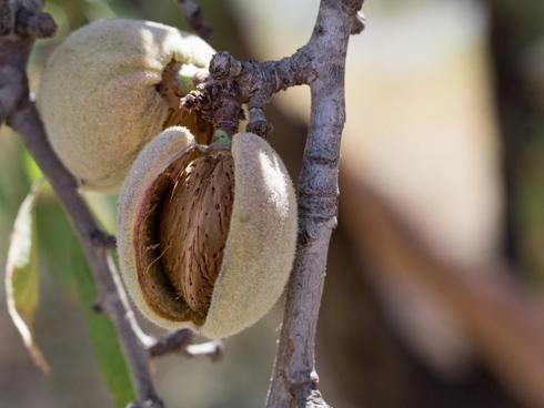 Frutti di mandorlo su pianta all'interno di un mandorleto