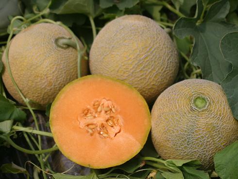 Melone E 815024 della tipologia retato senza fetta a buccia tradizionale della enza zaden