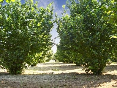 Nocciolo l 39 irrigazione secondo netafim agronotizie for Tecniche di irrigazione