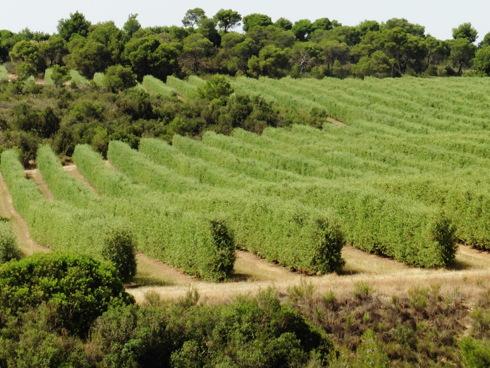 Olivo superintensivo o ad alta densità coltivato in Basilicata
