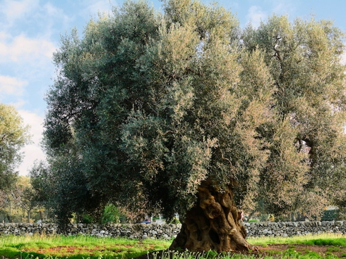 Olivo secolare in un oliveto tradizionale pugliese