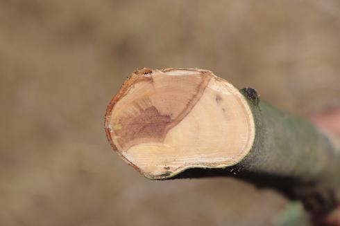 Sezione trasversale con in evidenza la classica forma a 'V'della necrosi del legno in corrispondenza di un cancro da Neofusicoccum parvum