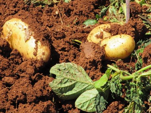 Tuberi di patate prima della raccolta dal terreno semi immerse nel terreno