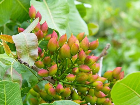 Frutti di pistacchio su pianta all'interno di un pistacchieto