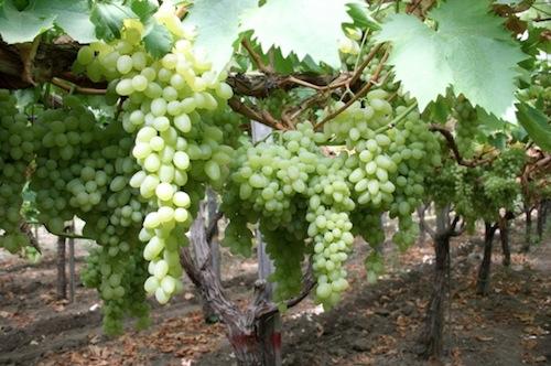 Uva da tavola al via la raccolta in puglia agronotizie - Piante uva da tavola ...