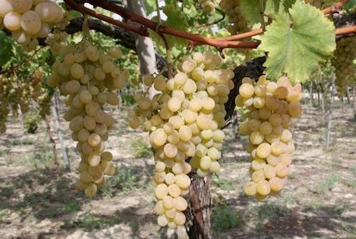 Uva da tavola al via la raccolta in puglia agronotizie - Uva da tavola coltivazione ...