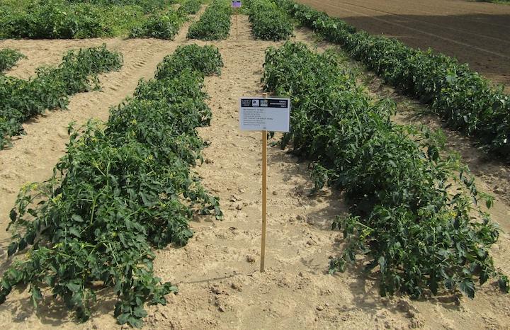 Tesi del campo demo pomodoro trattata in pre e post-trapianto