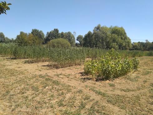 Area di selezione varietà quinoa Azienda agricola Tundo Sebastiano