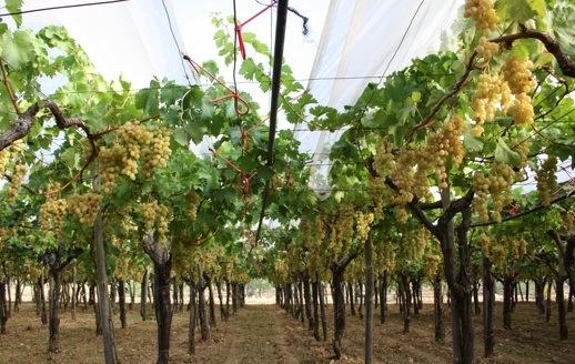 Uva da tavola al via la raccolta in puglia agronotizie - Uva da tavola italia ...