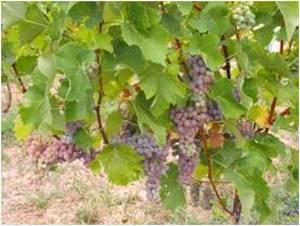 Souvignier Gris G è un vitigno resistente autorizzato in Veneto